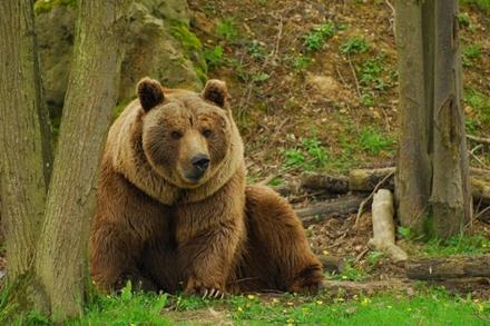 الحياة البرية في إيران ، الدب البني الفارسي