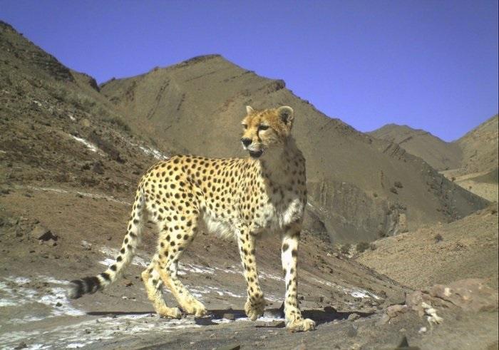 الحياة البرية في إيران ، الفهد الفارسي