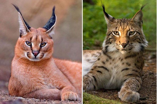 الحياة البرية في إيران ، القط البري الفارسي