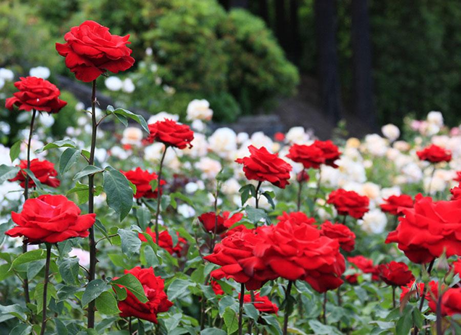 الوردة الفارسية